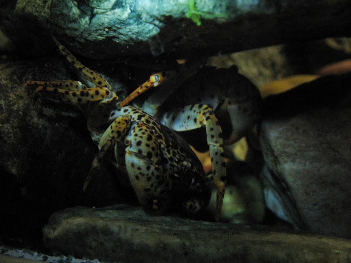 Дом для леопардов (Parathelphusa pantherina) IMG_3154%5B2%5D