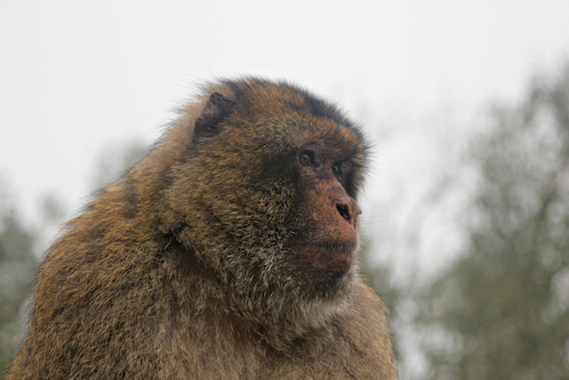The thieving monkeys that live atop the Rock of Gibraltar