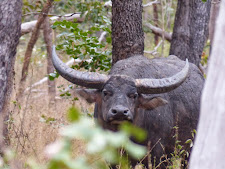 An old bull watches us from a distance