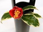 鮮紅〜朱紅色 一重 盃状咲き 弁端切れ込む ユキ芯 中輪 白覆輪葉