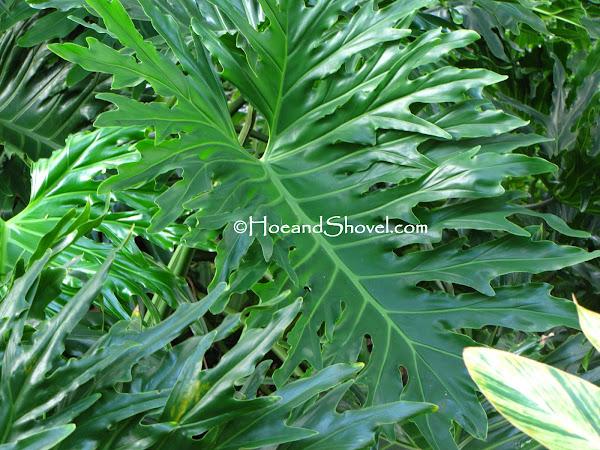 Large Green Leaf Plant