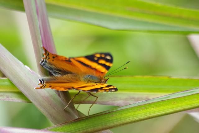 Hypanartia lethe lethe (FABRICIUS, 1793). Tandayapa près de Nanegalito, 1700 m (Pichincha, Équateur), 12 décembre 2013. Photo : J.-M. Gayman