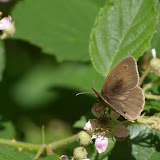 Manolia jurtina L., 1758, mâle. Les Hautes-Lisières (Rouvres, 28), 8 juin 2011. Photo : J.-M. Gayman