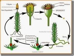 Tumbuhan Lumut (Bryophyta) 6