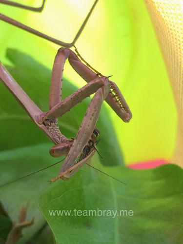 Madi's Mantis