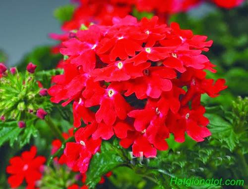 Cận cảnh hoa vân anh