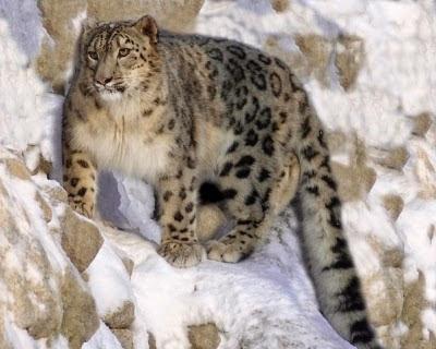 снежный леопард