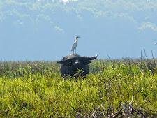 wildlife-water-buffalo-10.jpg