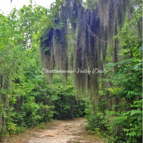 A Curtain of Spanish Moss