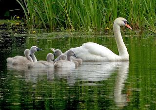 Swan family, Montgomery Canal, Powys