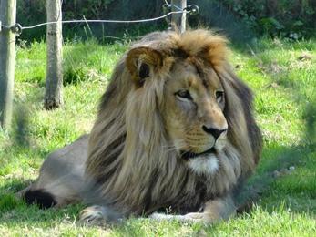 2018.06.30-050 lion