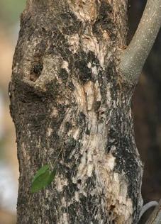 Kulit Kayu Pohon Jamblang Duwet