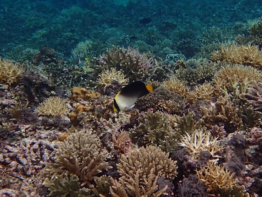 Chaetodontoplus mesoleucus (Vermiculated Angelfish), Small Lagoon, Miniloc Island, Palawan, Philippines
