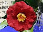 紅色 八重咲き 大輪