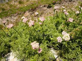 achillee millefeuille Achillea millefolium Asteracees.2.JPG