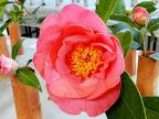 濃桃色 八重咲き 大輪