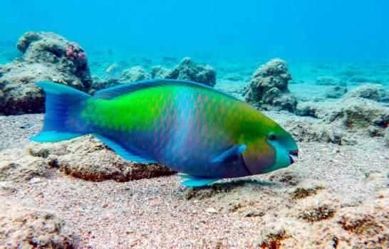 Este lunes concluye período para comercialización de algunos peces, incluido el loro