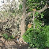 Эту грушу уничтожили при отсыпке стоянки гаражного комплекса Пушка