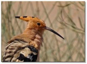 Belajar Dari Burung Hud Hud Pks Temanggung