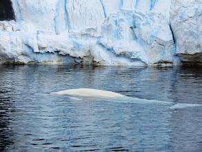 Photo: Wild Artic