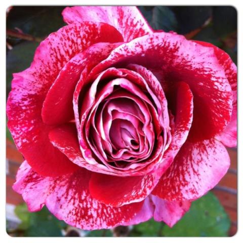 den yndigste rose jeg søger en kæreste