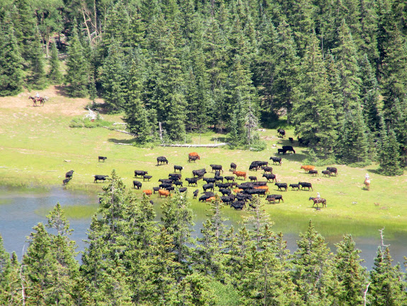Cattle drive at Snow Lake