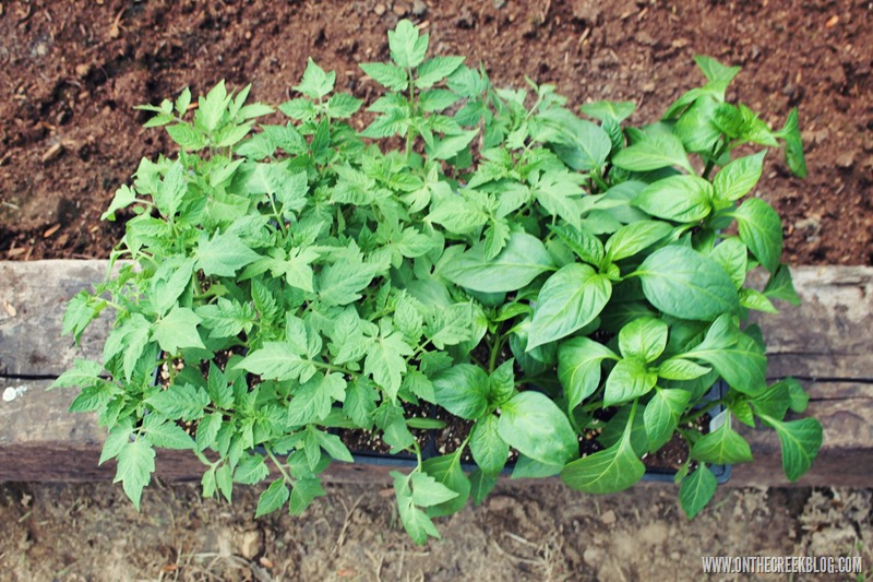 tomato & pepper plants