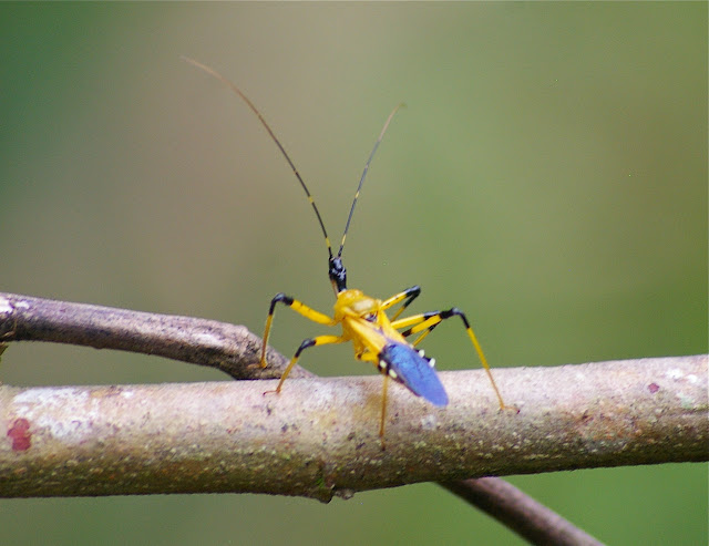 Réduve : Cosmolestes sp., Harpactorinae. Lot n°2, Sukau (Sabah), 13 août 2011. Photo : J.-M. Gayman