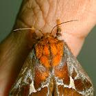Slug Caterpillar Moth