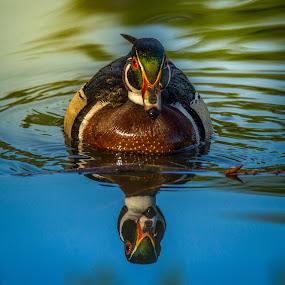 Wood Duck by Tomas Rupp - Animals Birds ( bird, wood duck, duck, wildlife, animal )