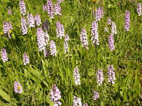 orchis de fuchs Dactylorhiza fuchii 2.JPG
