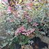 Jual Tanaman Hias Bunga Clorovitalum Si Daun Ungu Harga Murah