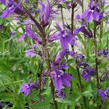 Lobelia verariensis  лобелия многолетняя синяя 45