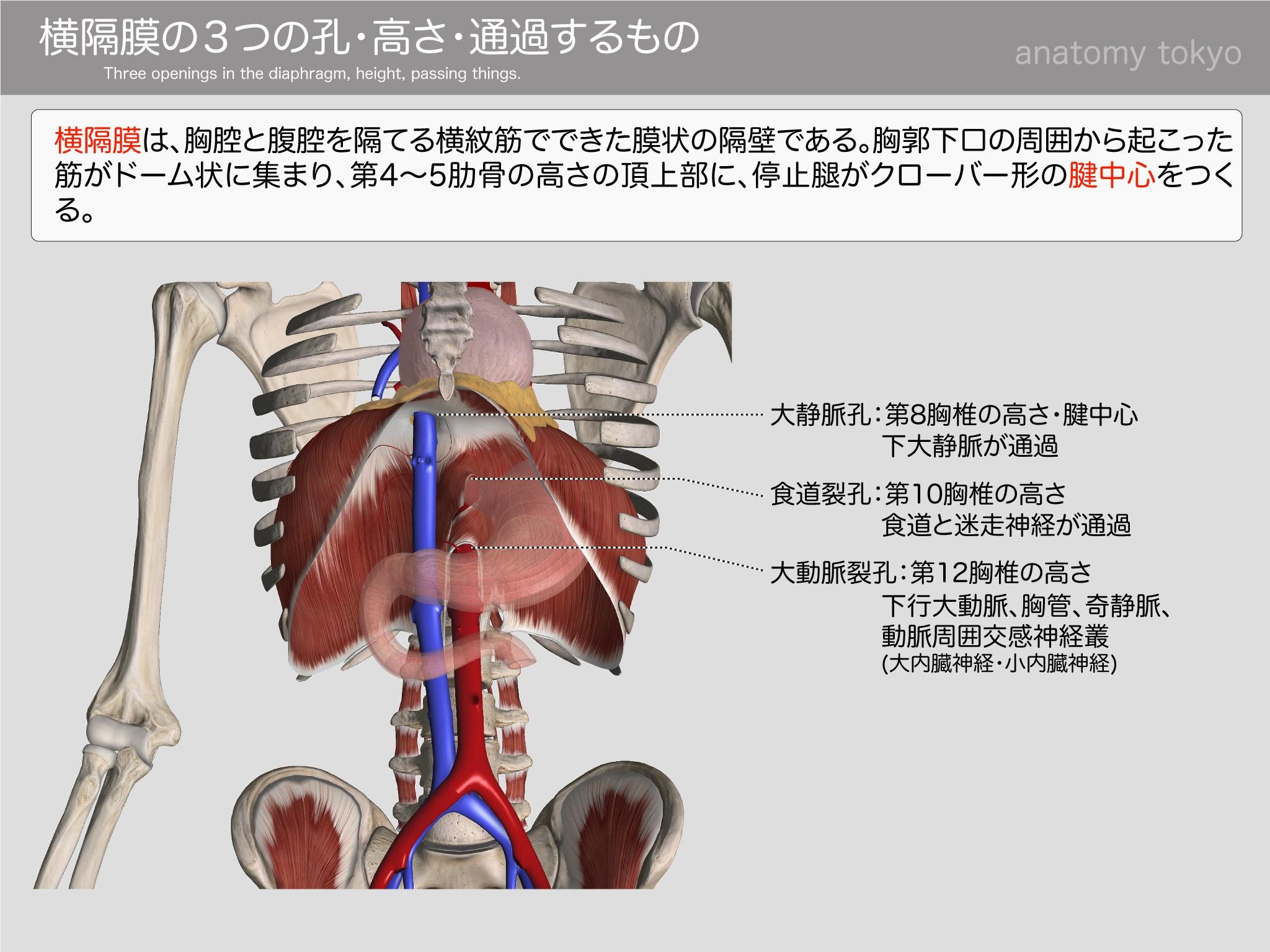 位置 内臓