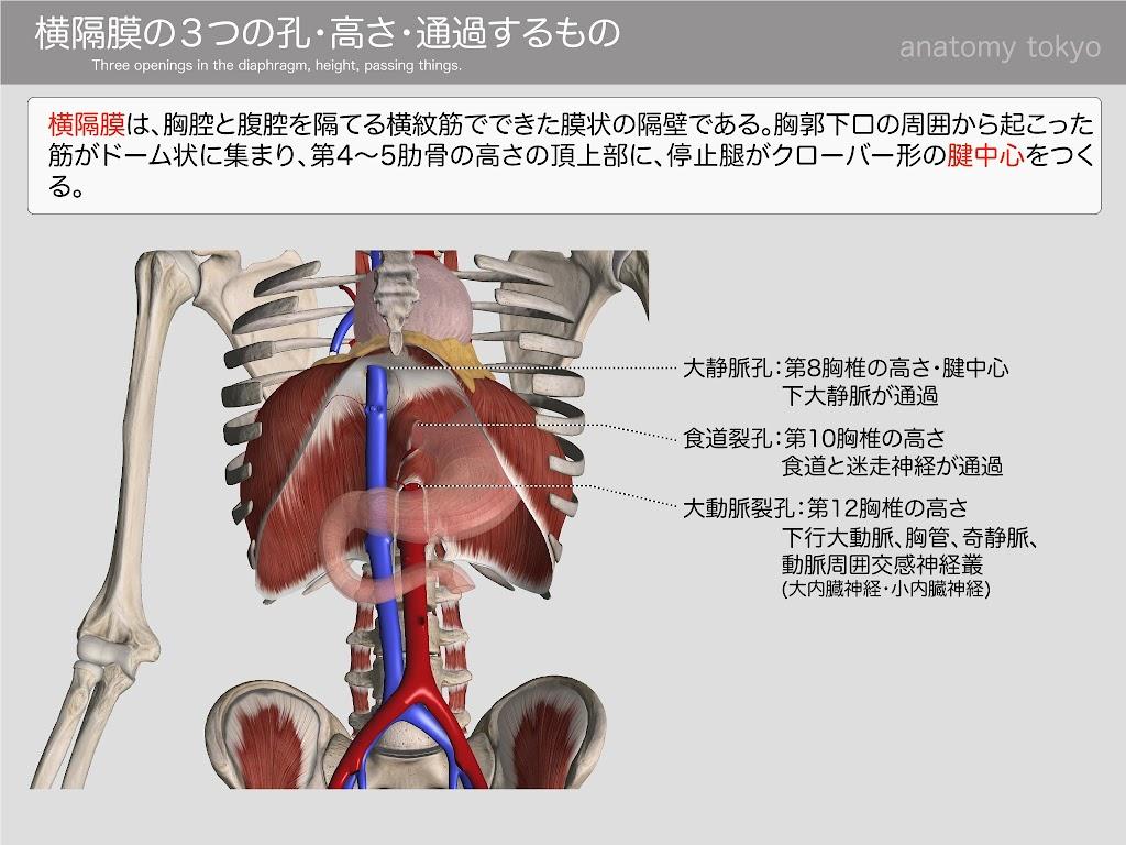 Three-openings-in-the-diaphragm,-height,-passing-things..jpg