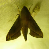 Macroglossinae : Hippotion batschi KEFERSTEIN, 1878. Saha Forest Camp, Anjozorobe (Madagascar). 3 janvier 2014. Photo : J. Marquet