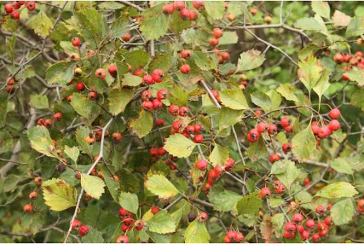 This shrub had vibrant tasting haws. Note the tiny apple-like fruit and impressive thorns.