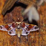 Crambidae : Spilomelinae : Syngamilyta apicolor DRUCE, 1902. Los Cedros, 1400 m, Montagnes de Toisan, Cordillère de La Plata (Imbabura, Équateur), 18 novembre 2013. Photo : J.-M. Gayman