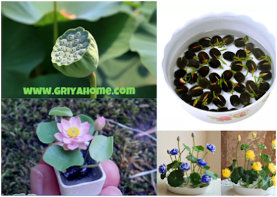Cara Memperbanyak Tanaman Lotus