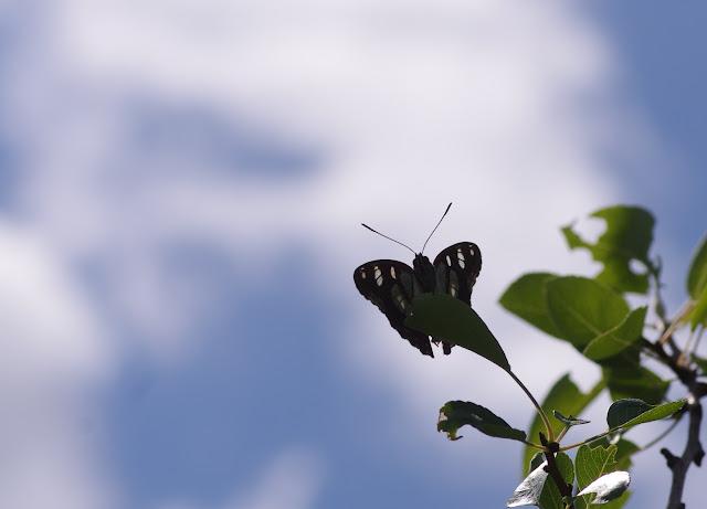 Limenitis reducta Staudinger, 1901. Les Hautes-Courennes, 500 m, Saint-Martin-de-Castillon (Vaucluse), 15 juin 2015. Photo : J.-M. Gayman
