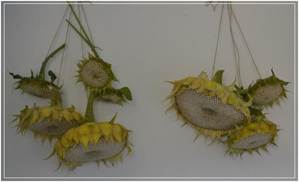 Zonnebloemen drogen voor de vogels