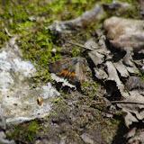 Geometridae : Archiearinae : Boudinotiana notha (Hübner, 1803). Les Hautes-Lisières (Rouvres, 28), 14 avril 2015. Photo : J.-M. Gayman
