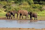 """Men elefanterne er nu vores """"yndlingsdyr"""" ..."""
