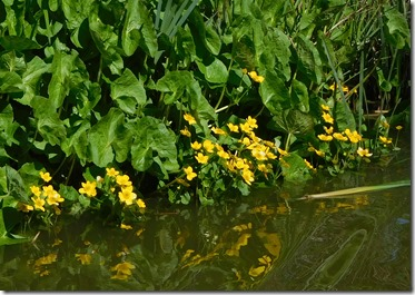 15 marsh marigolds