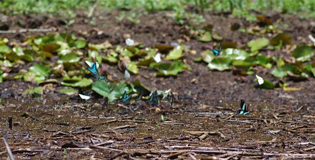 Rassemblement de Pieridae et de Papilionidae : Graphium policenes CRAMER, 1775, Papilio bromius DOUBLEDAY, 1845 (à droite) et Graphium leonidas FABRICIUS, 1793 (au centre gauche). Berges de la Nyong près d'Ebogo (Cameroun), 8 avril 2012. Photo : J.-M. Gayman