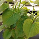 cultivo de meristemas para obtencion de batata libre de virus - 0032.JPG