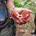 aus dieser Frucht kommt die Farbe