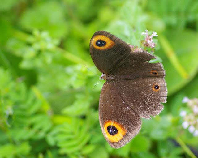 Callerebia polyphemus annadina WATKINS, 1927. Yulong (2700 m), 21 août 2010. Photo : J.-M. Gayman
