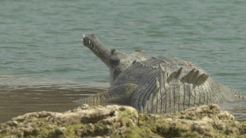 Questões e Fatos sobre Crocodilianos gigantes: Transferência de debate da comunidade Conflitos Selvagens.  - Página 2 1B010496_0005_lt