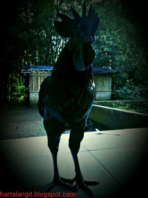 mitos ayam cemani - harta langit